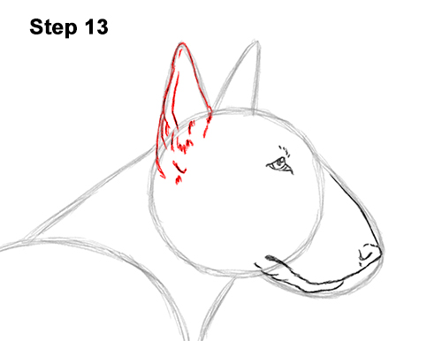 How to Draw a Bull Terrier Dog Puppy Side View 13