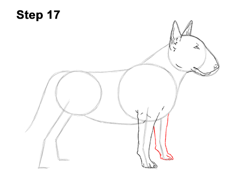How to Draw a Bull Terrier Dog Puppy Side View 17