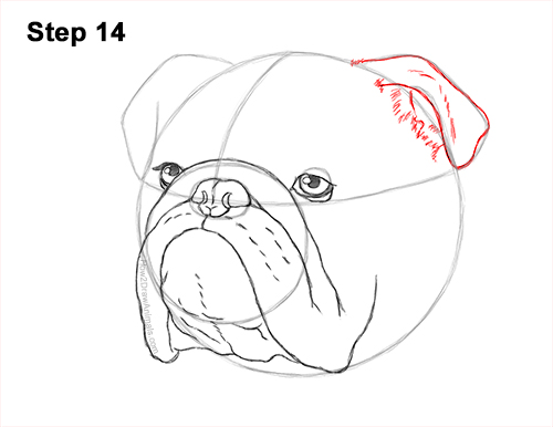 How to Draw a Bulldog Head Portrait Face 14