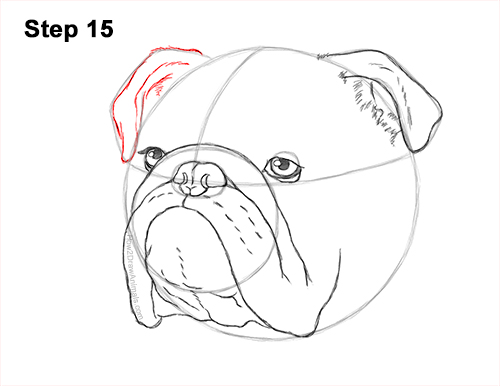 How to Draw a Bulldog Head Portrait Face 15