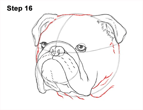 How to Draw a Bulldog Head Portrait Face 16