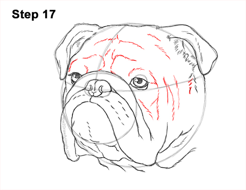 How to Draw a Bulldog Head Portrait Face 17