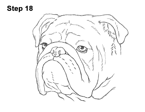 How to Draw a Bulldog Head Portrait Face 18