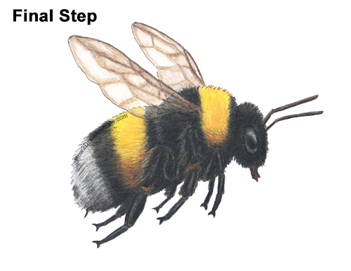 How to Draw a Bumblebee Bee Flying