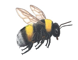 How to Draw a Bumblebee Bee Insect Flying