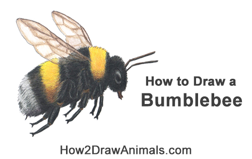 How to Draw a Bumblebee Bee Flying Color