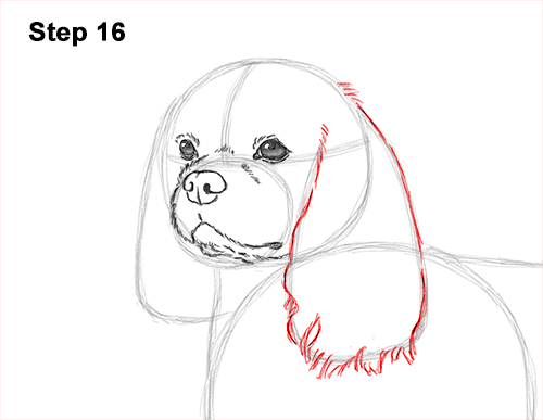How to Draw a Cavalier King Charles Spaniel Puppy Dog 16