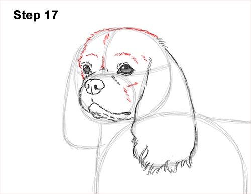How to Draw a Cavalier King Charles Spaniel Puppy Dog 17