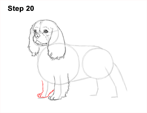 How to Draw a Cavalier King Charles Spaniel Puppy Dog 20
