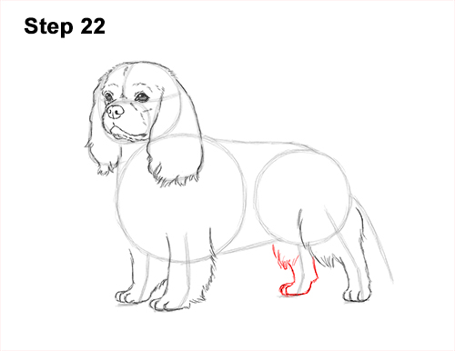 How to Draw a Cavalier King Charles Spaniel Puppy Dog 22
