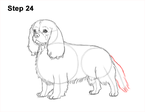 How to Draw a Cavalier King Charles Spaniel Puppy Dog 24