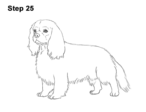 How to Draw a Cavalier King Charles Spaniel Puppy Dog 25