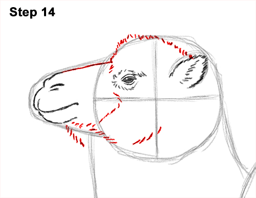 Draw a Bactrian Camel Two Humps 14