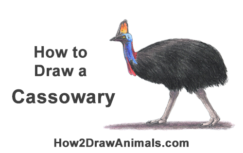 How to Draw an Australian Southern Cassowary Bird