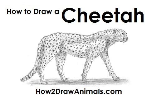 Draw Cheetah