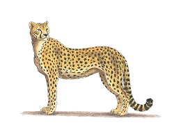 How to Draw a Cheetah Side Color