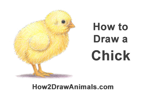 How to Draw Cute Baby Chick Chicken Hen