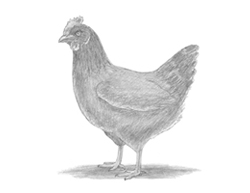 How to Draw a Chicken Hen Standing Bird