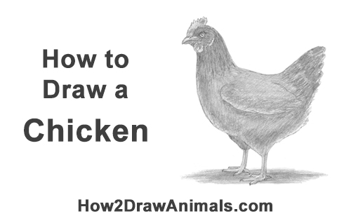 How to Draw a Chicken Hen Bird