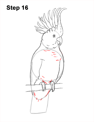 How to Draw a Sulphur Crested Cockatoo Bird Parrot 16