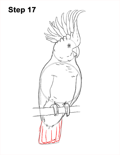 How to Draw a Sulphur Crested Cockatoo Bird Parrot 17