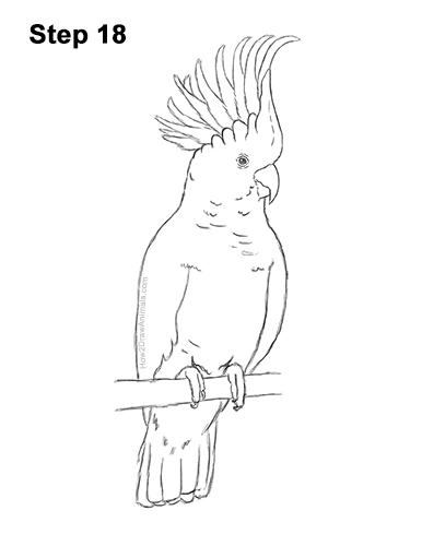 How to Draw a Sulphur Crested Cockatoo Bird Parrot 18