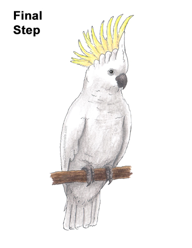 How to Draw a Sulphur Crested Cockatoo Bird Parrot