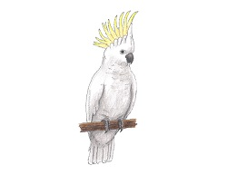 How to Draw a Cockatoo Bird Color