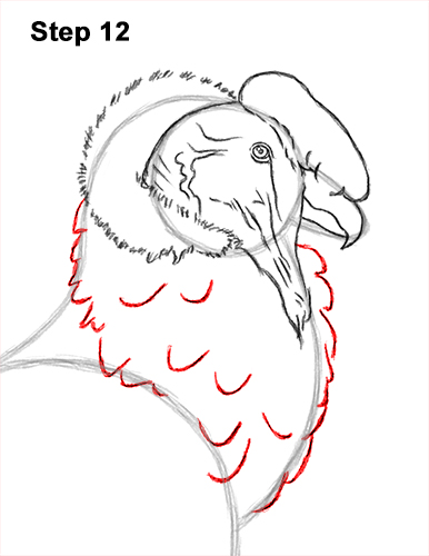 How to Draw an Andean Condor Bird Side View 12
