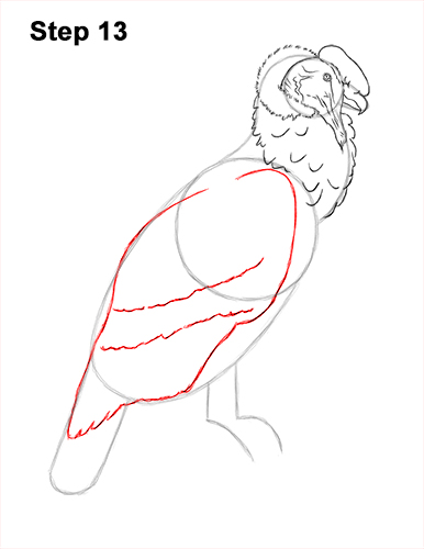 How to Draw an Andean Condor Bird Side View 13