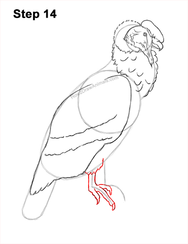 How to Draw an Andean Condor Bird Side View 14