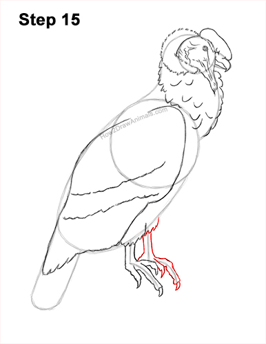 How to Draw an Andean Condor Bird Side View 15