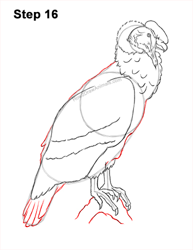 How to Draw an Andean Condor Bird Side View 16