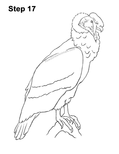 How to Draw an Andean Condor Bird Side View 17