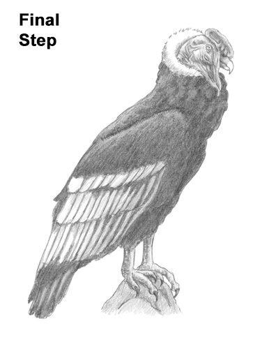 How to Draw an Andean Condor Bird Side View