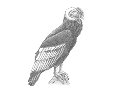 How to Draw an Andean Condor Side View