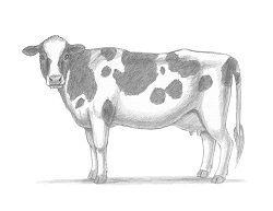 How to Draw a Cow Holstein Side View