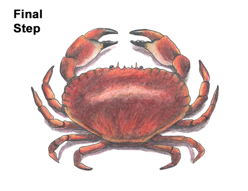 How to Draw a Brown Edible Red Crab