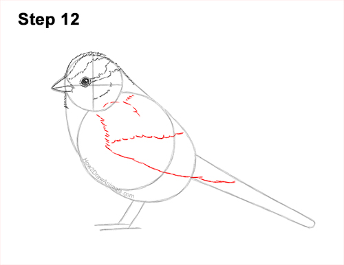 How to Draw a White-Crowned Sparrow Bird 12