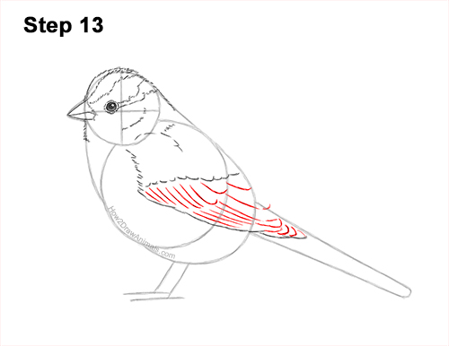 How to Draw a White-Crowned Sparrow Bird 13
