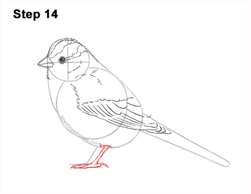 How to Draw a White-Crowned Sparrow Bird 14