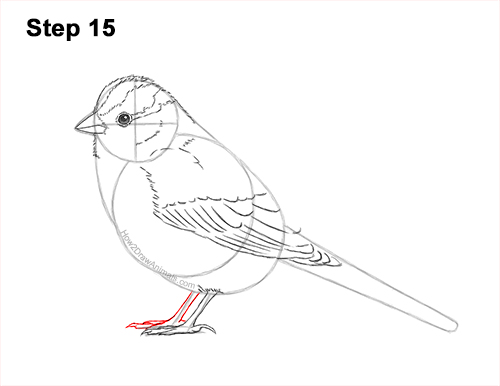 How to Draw a White-Crowned Sparrow Bird 15