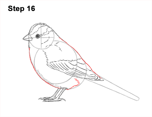 How to Draw a White-Crowned Sparrow Bird 16