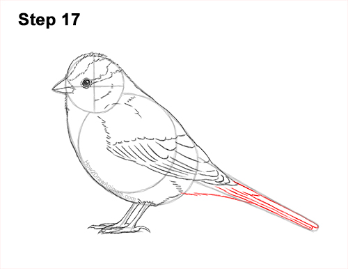 How to Draw a White-Crowned Sparrow Bird 17