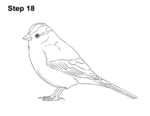 How to Draw a White-Crowned Sparrow Bird 18