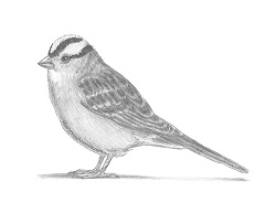 How to Draw a White-Crowned Sparrow Bird
