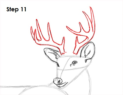 Draw White Tailed Deer 11