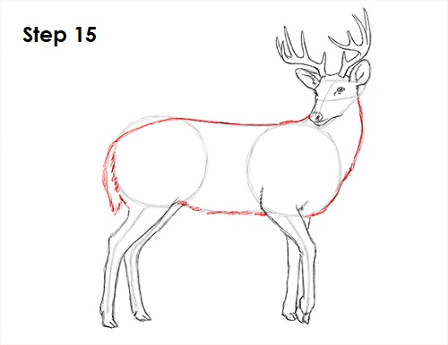 Draw White Tailed Deer 15