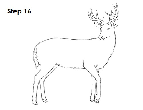 Draw White Tailed Deer 16