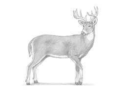 How to Draw a White-Tailed Deer Buck Side View